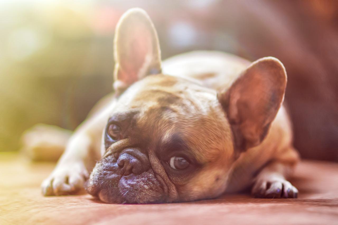 Małe rasy psów idealne jako towarzysz życia